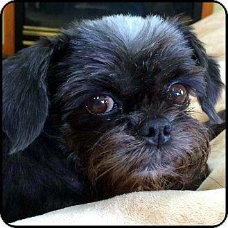 Nauvoo, IL - Affenpinscher. Meet TESS in Nauvoo, IL., a dog for adoption. http://www.adoptapet.com/pet/16593473-nauvoo-illinois-affenpinscher