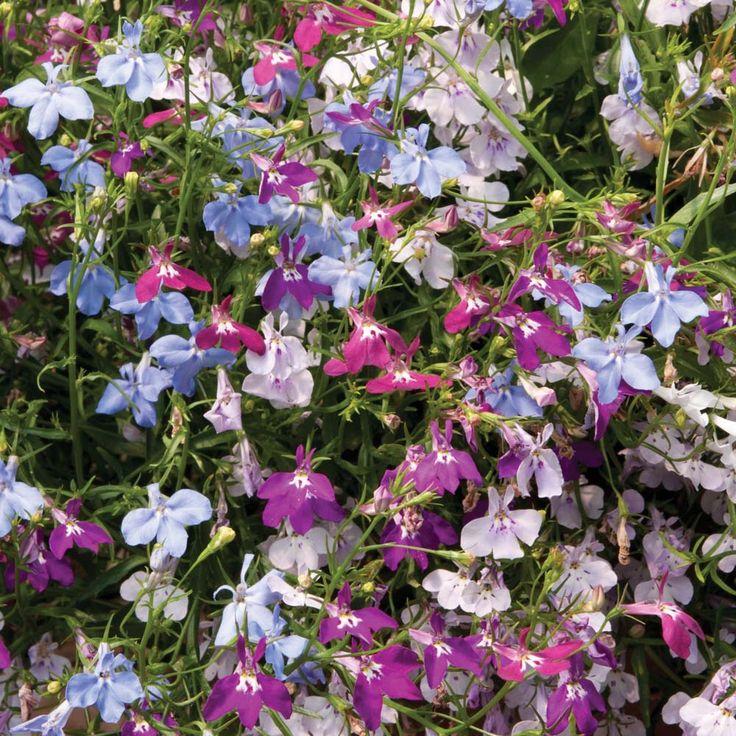 Buy Annual Plants - Order Flower Annual Plants   Lobelia Cascade Improved Mix.Thompson & Morgan