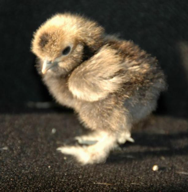 TIny silkie chicken. | Chick Pics | Pinterest