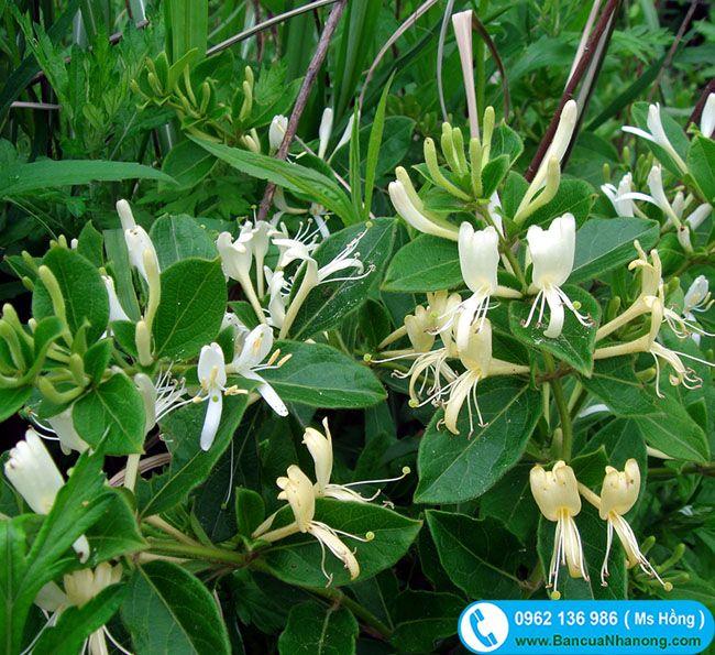 Cây Kim Ngân Hoa - Cây hoa leo có đặc điểm hoa buổi sáng có màu trắng bạc, chiều chuyển sang màu vàng kim nên cây được đặt tên là kim ngân hoa (vàng bạc).