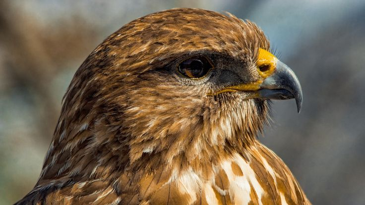 Buzzard portrait - If you like this work please Like ✔ Comment ✔ Share ✔ Follow ✔ Thanks for your visit.