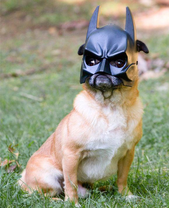 Daa nanananaaa!! Haha!Animal Pictures, Christian Bale, Funny Dogs, Funny Cat, Masks, Pugs, Batman, Dark Knights, Bats Dogs