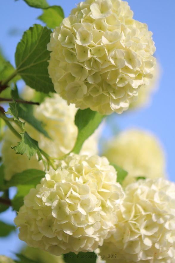"""Pianta di Viburnum opulus """"Roseum"""" (snowball tree, Boule-de-neige, bulgarasi)... :)"""