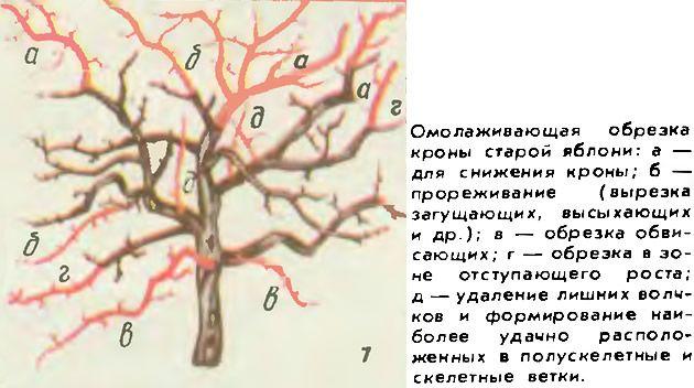 Kak-pravilno-obrezat-staruyu-yablonyu-vesnoj-shema.jpg (630×352)