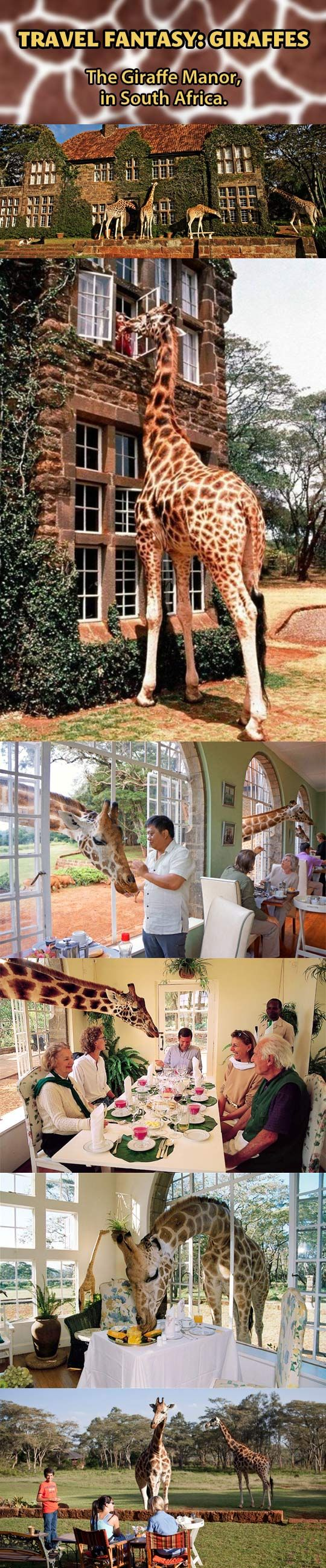 Giraffe Manor, Nairobi, Kenya. If there is any place in this Earth that I was born destined to visit besides Harry Potter Theme Park, it is this magical unearthly utopia of long-necked wondercreatures. Please mail me there, somebody. Anybody.