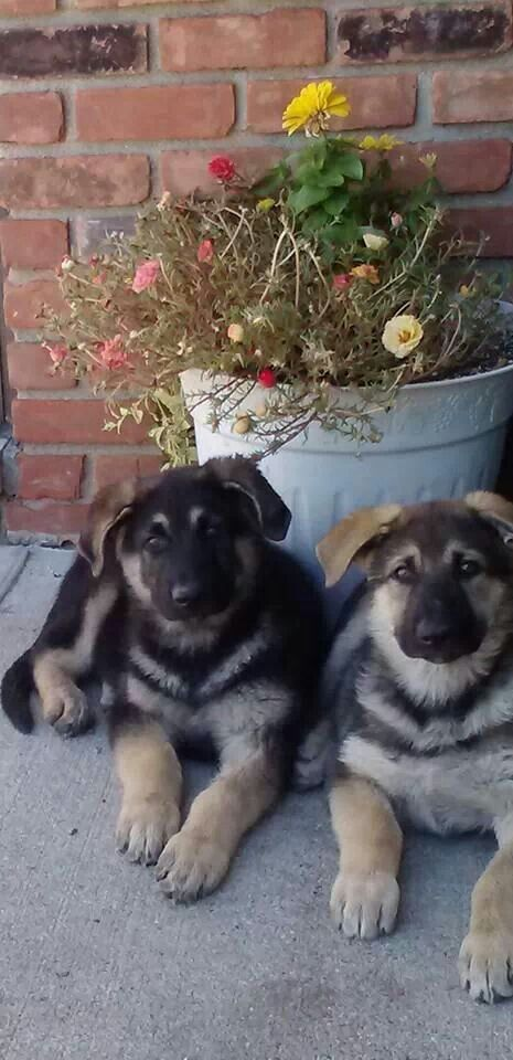 9 week old German Shepherd puppies from Guardian Angel Shepherd's in Nescopeck PA USA www.guardianangelshepherds2.com