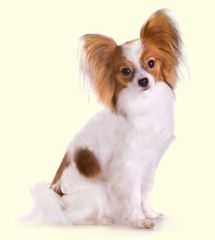 Papillon Puppies For Sale In DE MD NY NJ Philly DC and Baltimore - Greenfield Puppies