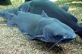 El pez gato americano (Ictalurus punctatus) es una especie de pez de la familia Ictaluridae, orden Siluriformes, siendo el siluriforme más común en los Estados Unidos. También es el tipo de pez gato más pescado, con aproximadamente 8 millones de pescadores en los Estados Unidos. Se trata en dicho país de una especie popular para su consumo,