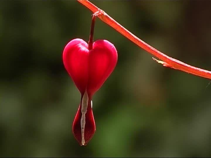 Flores hermosas: corazones sangrantes