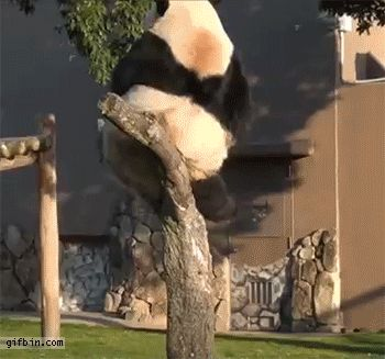 When this buddy overestimated how much that branch could handle.   16 Times Pandas Were The Only Ones Who Mattered