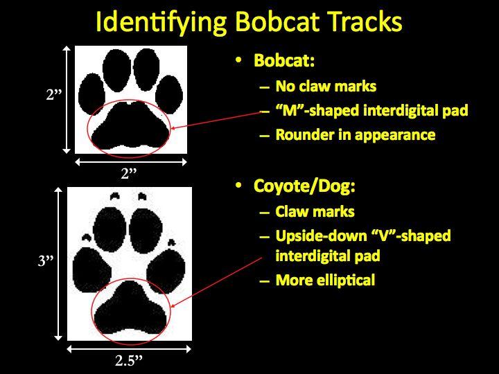 Bobcat Footprints Bobcattracks, bobcat tracks 2