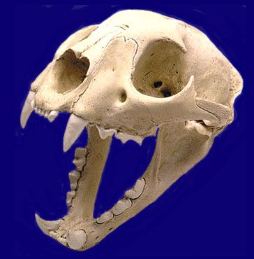 mountain_lion_skull.jpg (364×370)