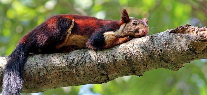 Die indischen Rieseneichhörnchen gehören zu den schönsten Lebewesen, die es in …   – Nature's Beauty