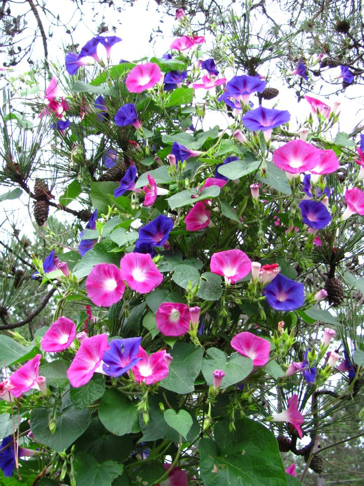 Best 25+ Morning glories ideas on Pinterest