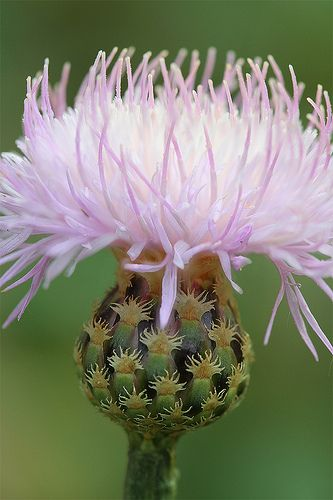 Pink Star Thistle | Flickr - Photo Sharing!