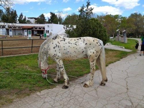 """A beautiful """"dalmatian"""" horse!"""