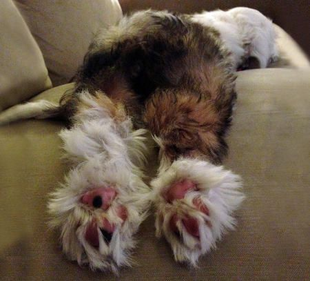 Lula the Tibetan Terrier, ABSOLUTELY LOVE THIS PICTURE....A TRULY TUCKERED OUT PUPPY!!!!