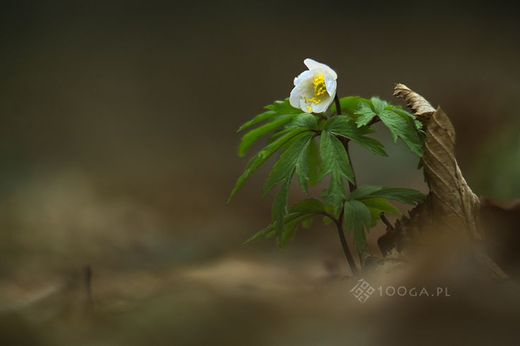 Barbarian in The Garden - Joanna Stoga fotograf; Anemone, flowers, plants, botanical Inspiration, floral, flowers, picture,