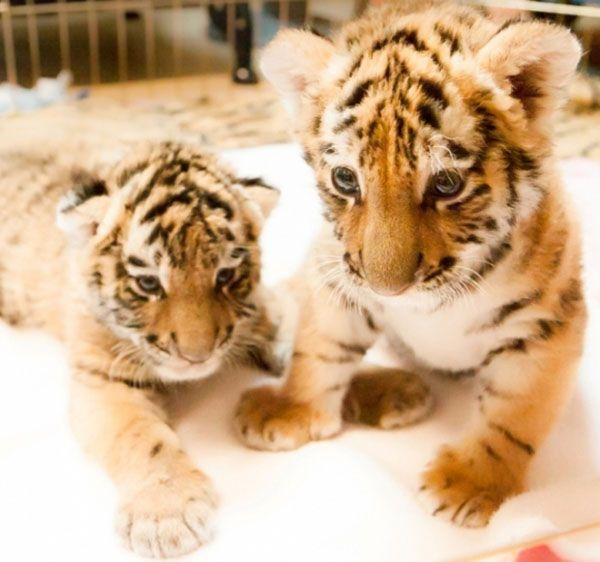 50 Incredibly Cute Baby Animal Pictures   http://www.123inspiration.com/50-incredibly-cute-baby-animal-pictures/