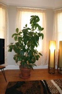 Rubber Tree - Common but classic. Needs a more retro pot.