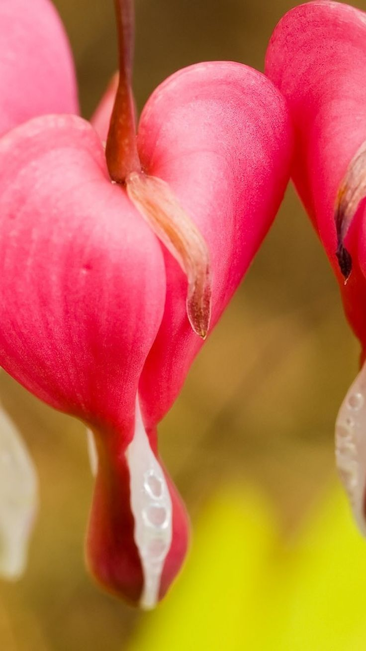 17 Best images about ¸¸ Flowers~Bleeding Heart ¸¸ on ...