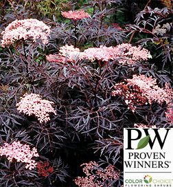 Buy Sambucus Black Lace™ Elderberry online at Greenwood Nursery   Add to My Favorites , View My Favorites Planting Zones: 4, 5, 6, 7 Plant Type: Deciduous Light requirements: Full Sun, Partial Sun Soil Conditions: Moist, Well Drained Height at Maturity: 6 - 10 ft Growth Rate: Fast Fruiting: Yes Flowering: Yes Bloom Color: Pink Bloom Season: Fall, Spring, Summer