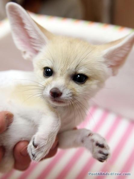 291 best images about fennec fox on pinterest wildlife - Pagina da colorare fennec fox ...