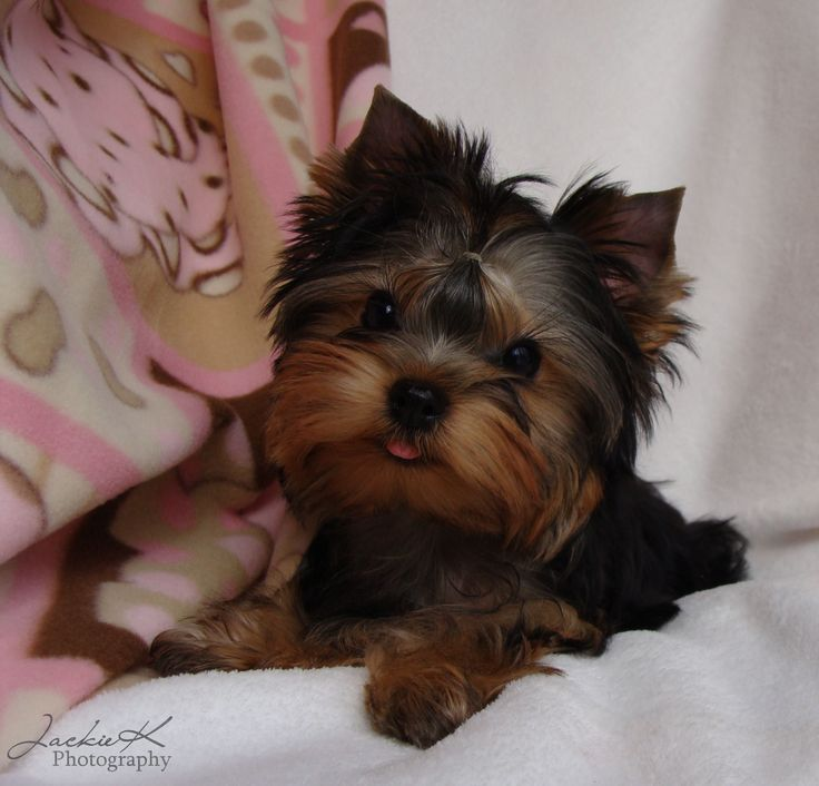 www.yorkies   JaLa Yorkies in Ohio ~ Available Yorkie Puppies,Yorkie Puppies for ...