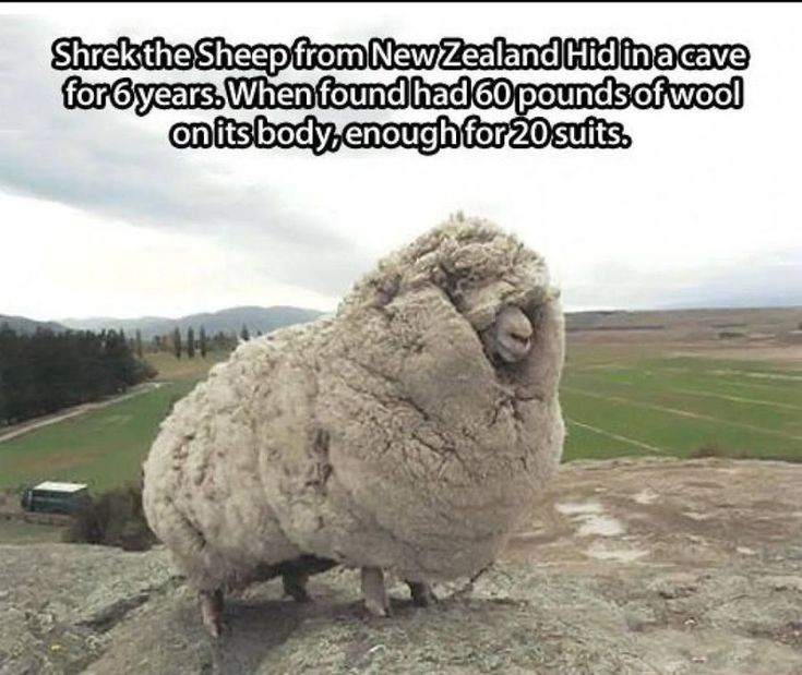 New Zealand sheep | Meanwhile in New Zealand...Shrek the Sheep - Meme Collection
