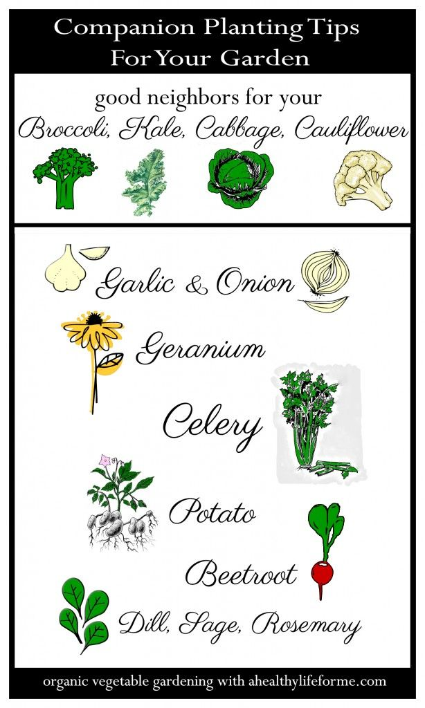 Companion Planting Tips for Cruciferous Vegetables - A Healthy Life For Me