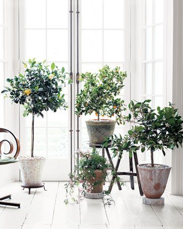 Potted, indoor jasmine, calamondin orange and meyer lemon trees.