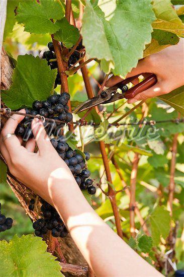 How to Prune Grape Vines for Fruit Development