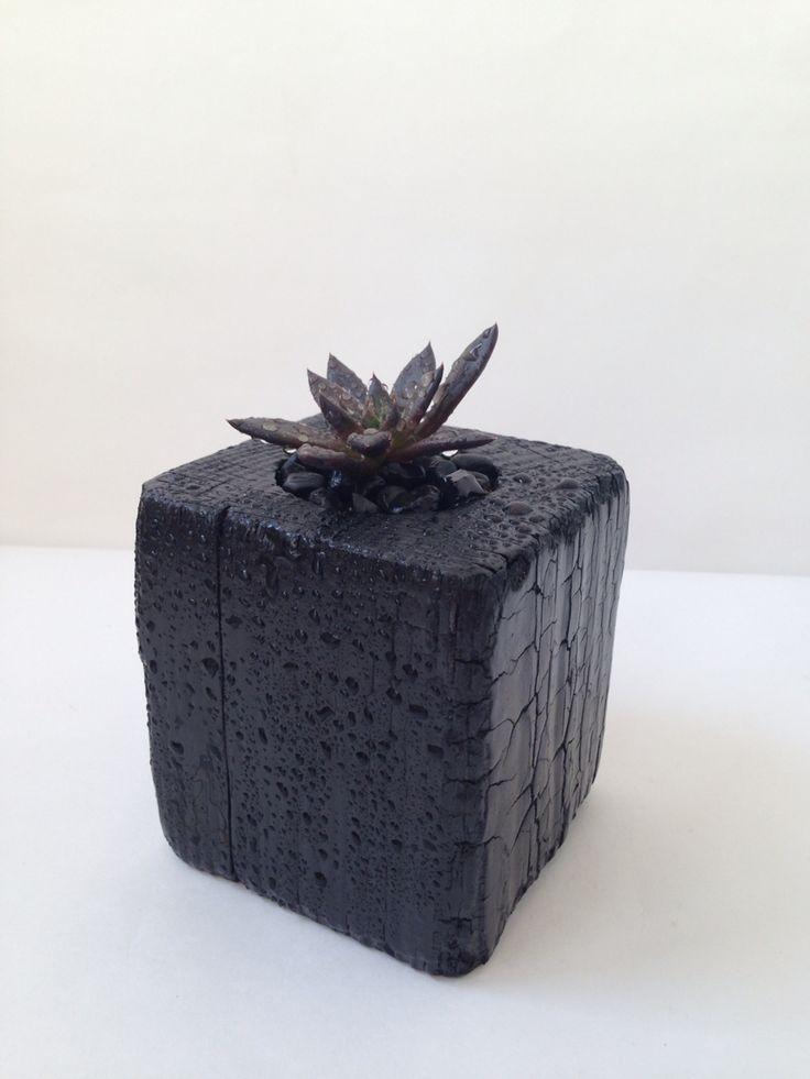 Echeveria Affinis 'Black Knight', Goosucc Succulents