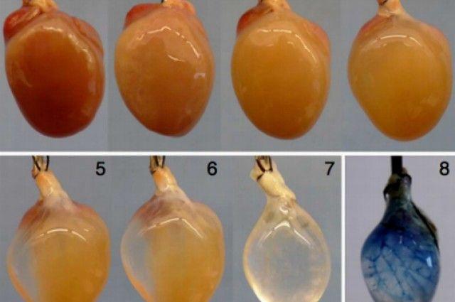 Beating stem cell heart