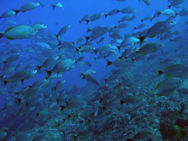 Snappers. Costa Rica. Scuba Diving.