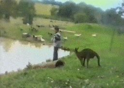 Kangaroo kicks kid into the lake