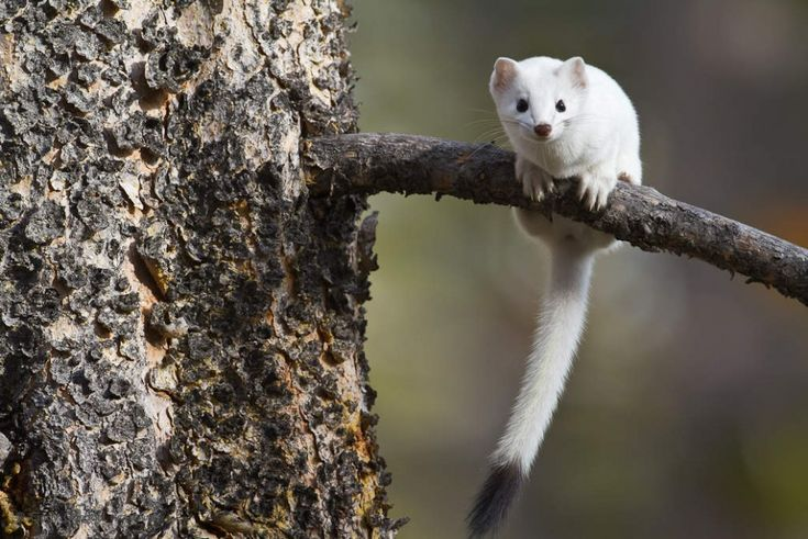 Winter Weasel