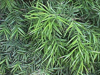 Podocarpus gracilior can be grown as 6-12 hedge, sun or shade tolerates deep shade, great along property line