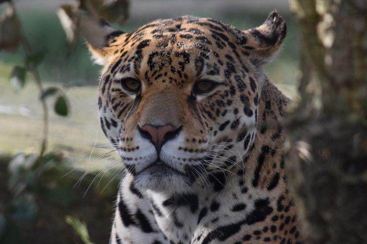 https://flic.kr/p/21gu7VY   Rica @ Artis 13-03-2017   Date of birth: 29-08-2010 Place of birth: Zoo Krefeld