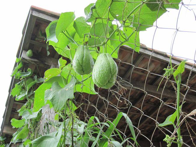 http://agricultura-net.blogspot.com.br/2015/01/como-plantar-chuchu.html