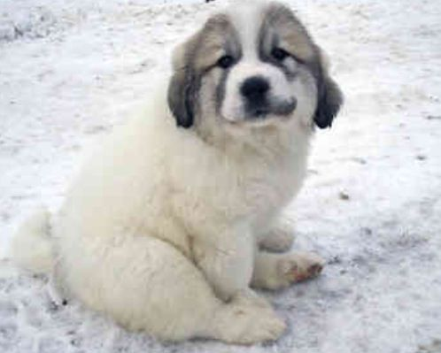 Black And Whit Baby Great Pyrenees Large Breed