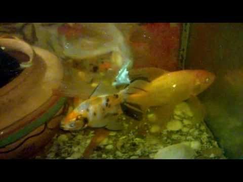 aquarium for all fish blogspot: Effective Filtration And #Fish#FishTank#TropicalFish#Fishing#NomCat#Salmon#Aquarium#Health#Food#Healthy#Seafood#Heart#HealthyLivingAeration For Big Goldfish...