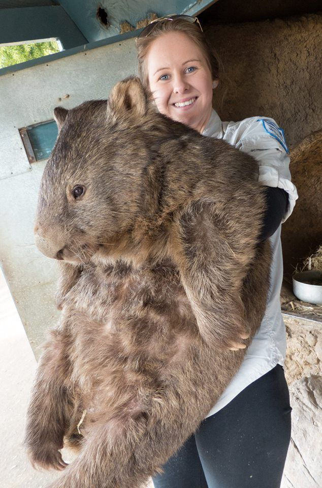 Patrick the Oldest Living Wombat Celebrates His 29th Birthday - My Modern Met