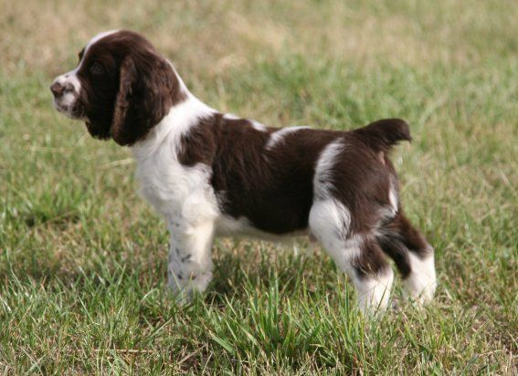 English Springer Spaniel naissances à l'élevage de springers anglais of Cookies and Cream