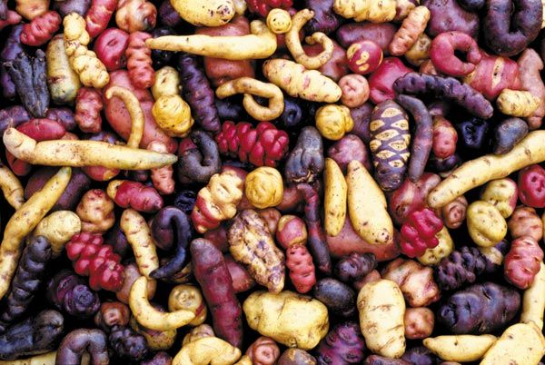 Image result for rare potato varieties