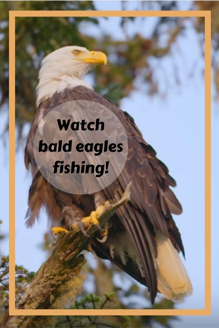 Best 20+ Facts About Bald Eagles ideas on Pinterest | How to draw ...