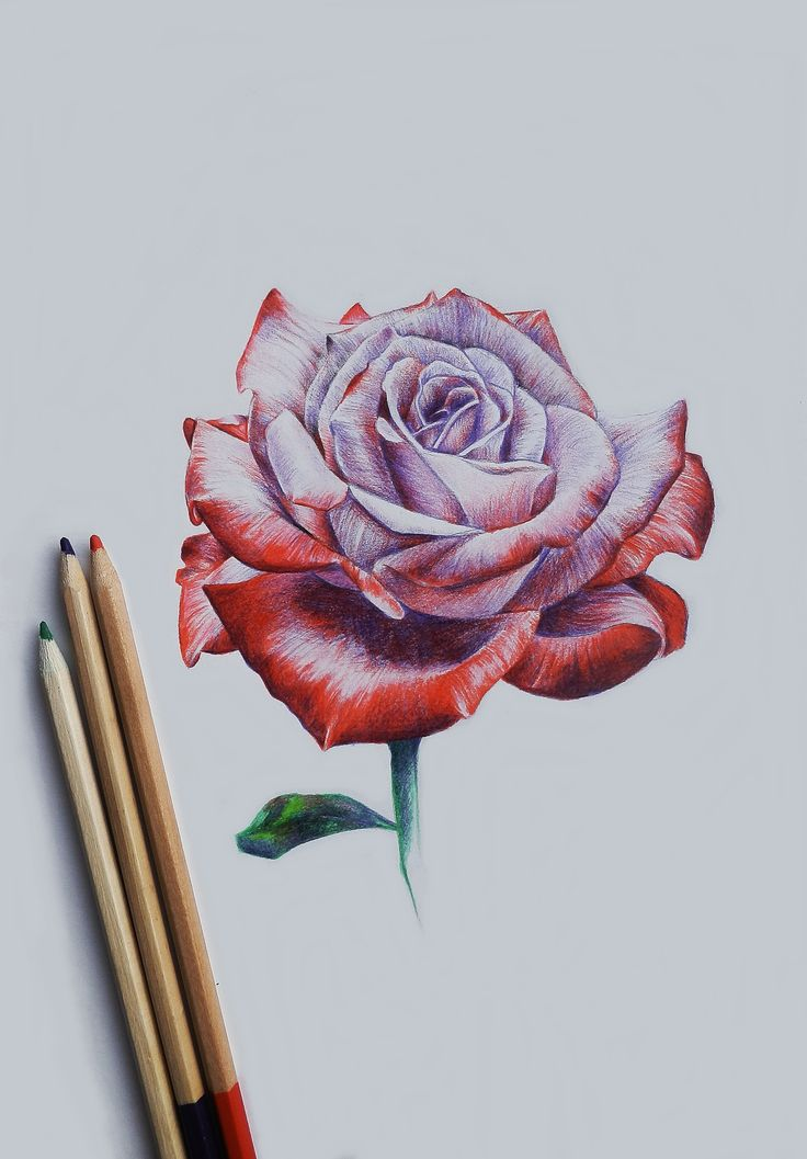 Pretty rose drawing. Colored pencil
