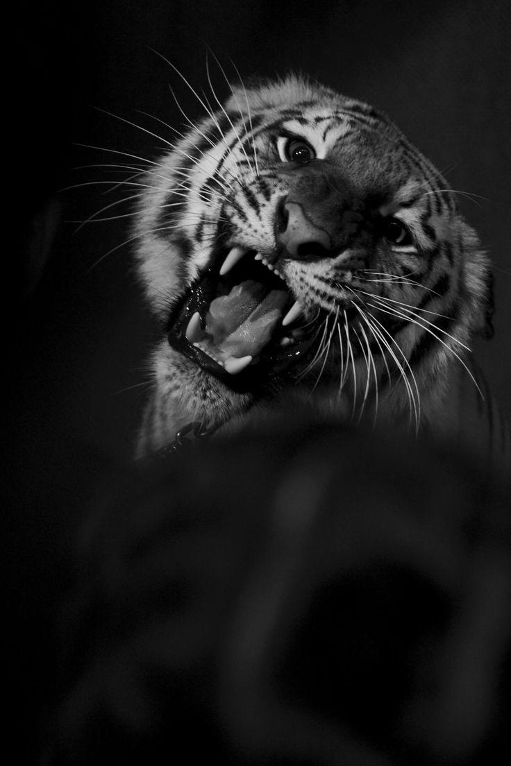 Tiger Magda