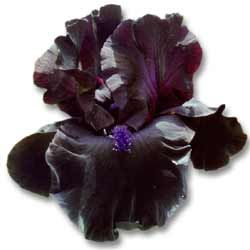 Image of Black Iris