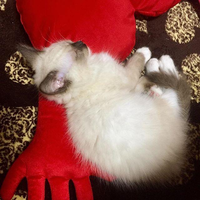 今日IKEAで買ってきたクッション枕に寝てる♡ くちモゴモゴさせてチュパチュパしながら寝言~~~ 猫でも寝言ゆーの??(笑) 何この可愛い生き物((*♡△♡))キュンッ . #バロン  #ラグドール #オス #2ヶ月 #めっちゃ甘えた #かなり暴れん坊 #食い意地はってるし #猫 #愛猫 #寝言 #猫やのに寝言 #可愛い過ぎ